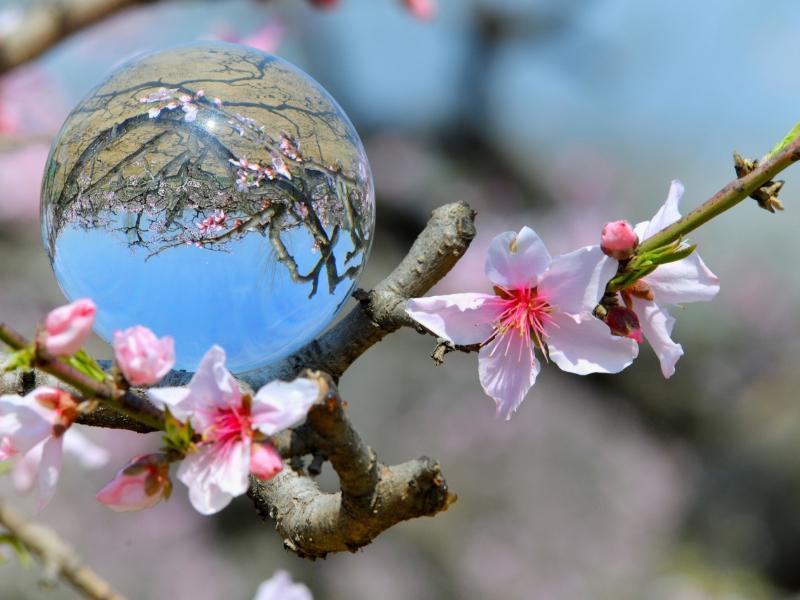 Kvetoucí stromy jsou symbolem májového svátku. Vztahuje se k nim řada pověr, jako známý zvyk políbit se pod rozkvetlou třešní.